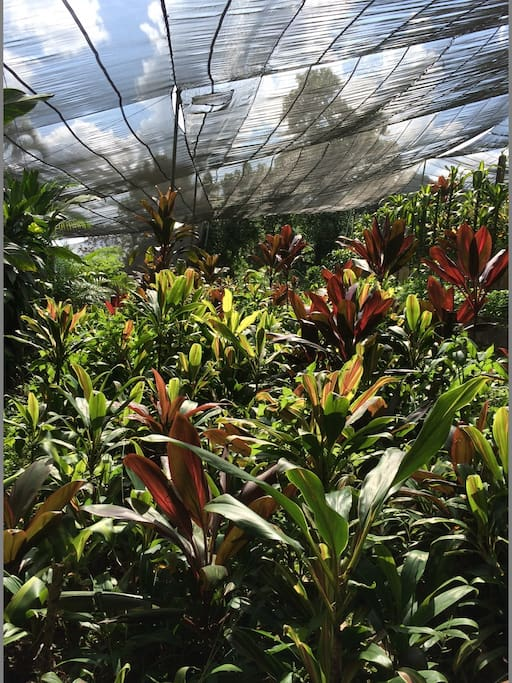 A view to our tropical gardens with fairtrade produced foliage for export