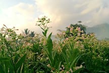 On certain month, you can enjoy the beauty of tobacco field while cycling around.