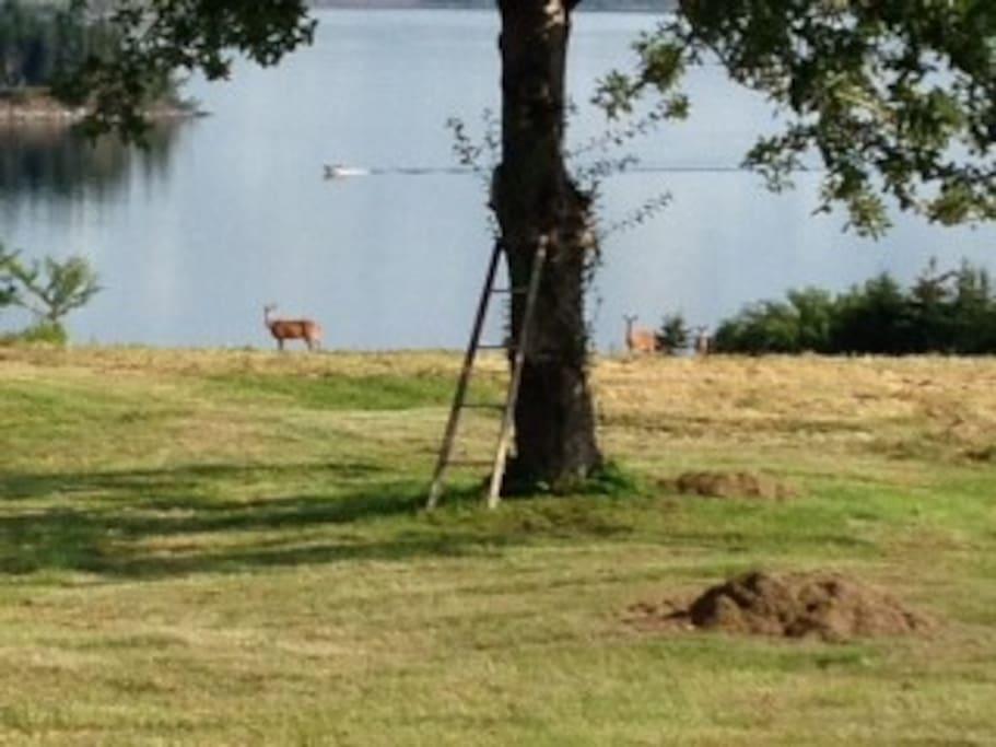 Deer feeding on the property's apple trees