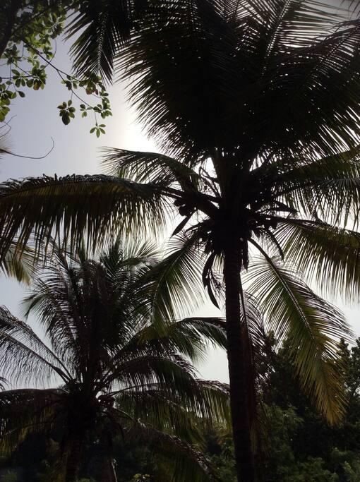 Overal paradijselijke kokospalmen.