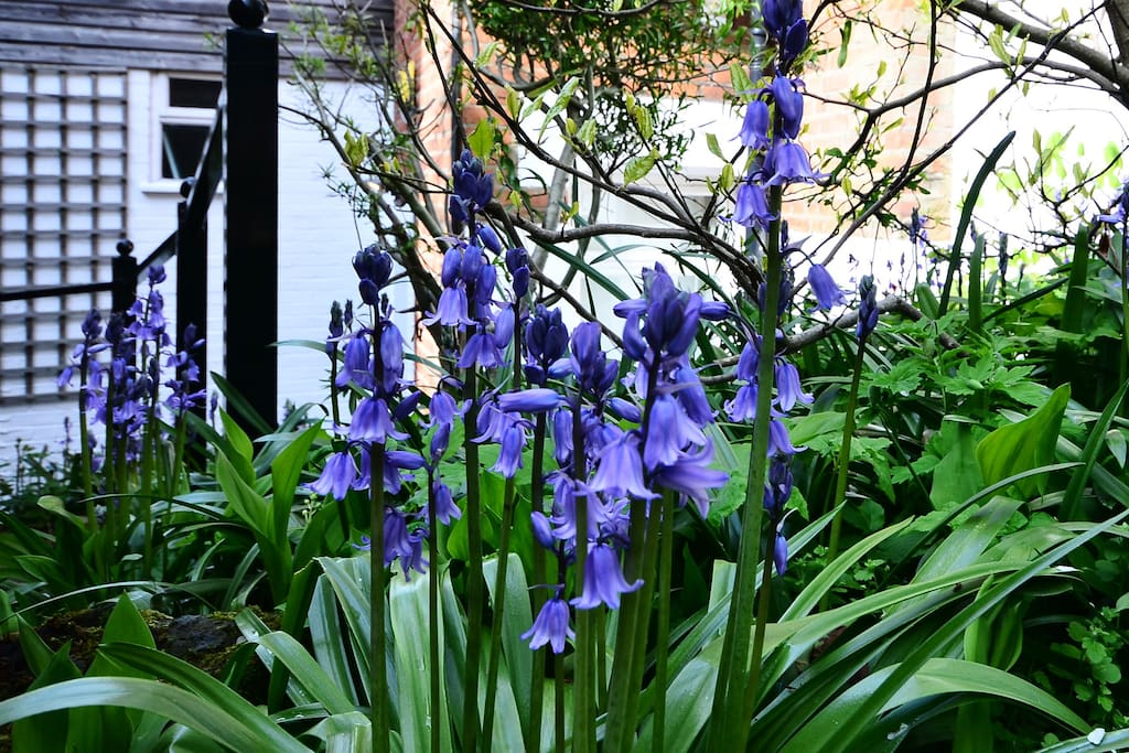 Bluebells along the path