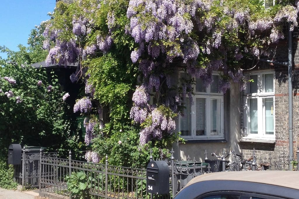 the wisteria in bloom