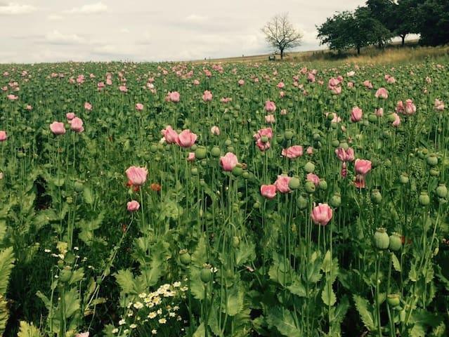 Mohnblüte in Germerode und Grandenborn