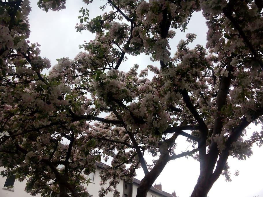 Blick aus dem Wohnzimmerfenster - Blütenpracht im Frühjahr
