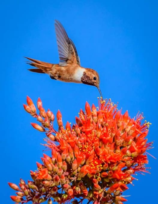Visiting hummingbird sips from an ocotillo bloom...photo by Bill Origer, our guest and friend of the Rancho!
