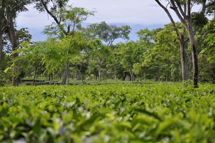 Sapoi Tea Farms :Estd 1914 (Heritage Homestay)