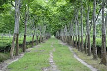 The rich look of avenue trees around the estate