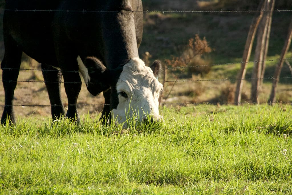 It a working farm so you will probably see cows grazing on the propety