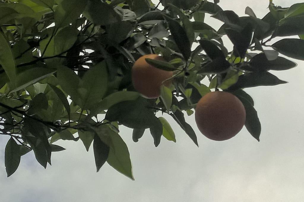 Particolare di un albero di agrumi