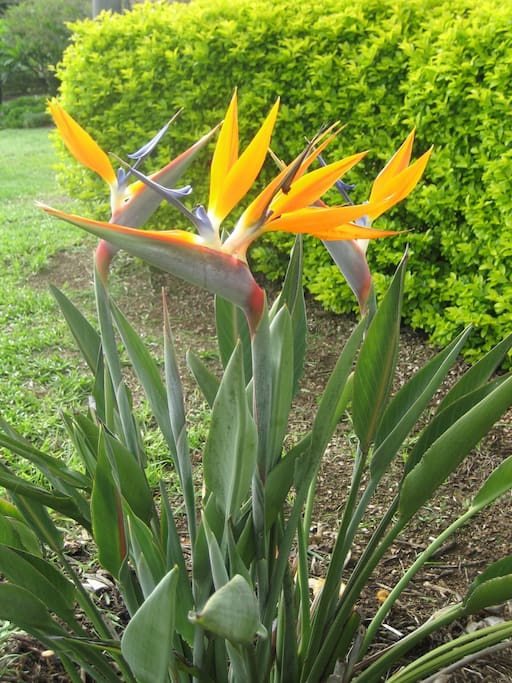 Bird of Paradise flowers in our garden