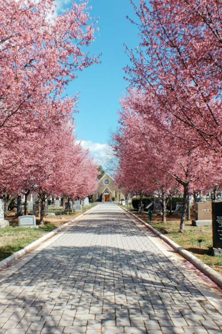 Spring Cherry Trees at Congressional