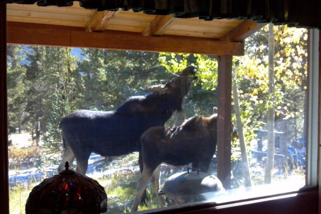 Moose mom and baby eating aspen leaves- view from my kitchen window.