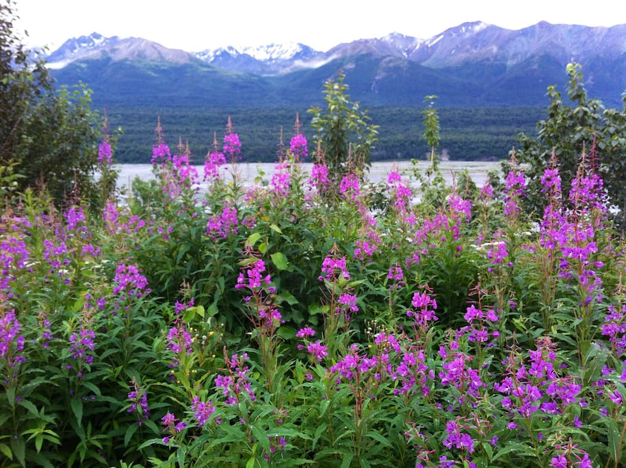 Fireweed in full bloom July-August.