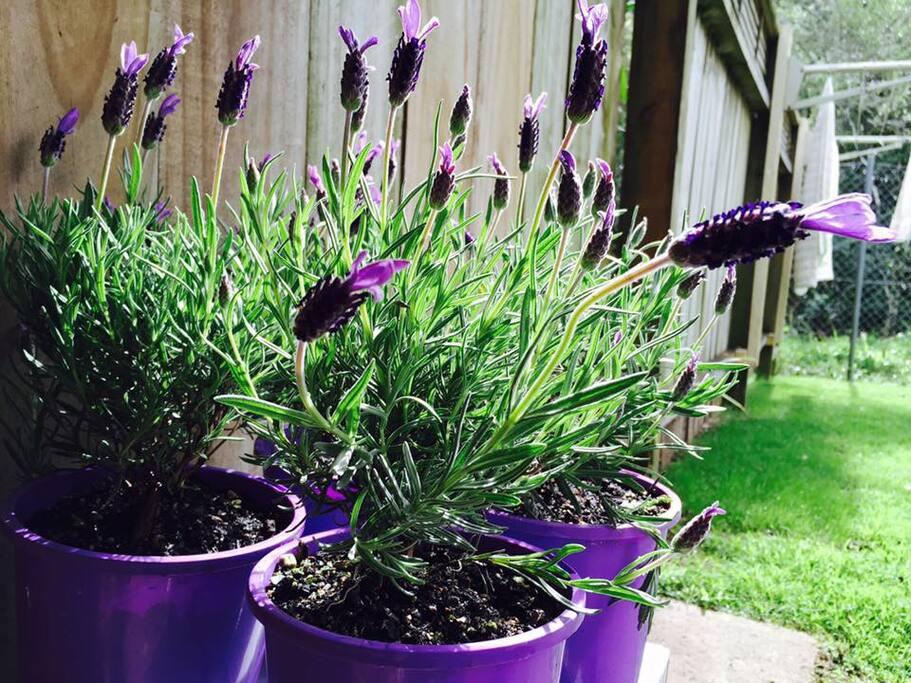 Lavender in its best season