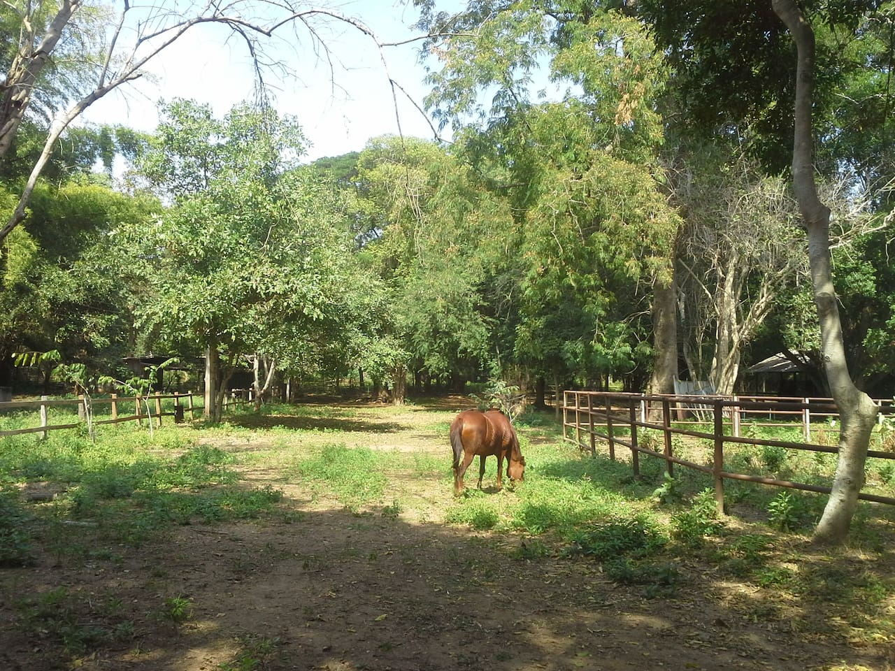 Thorn, one of our 9 horses, is grazing freely in our own little forest patch.
