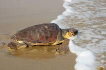 Vounaki Beach - Kareta-Kareta after laying its eggs