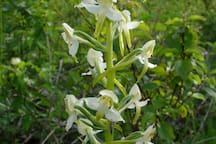 Sur nos pelouses se cachent les Orchidées sauvages.