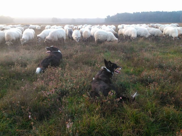 Our dogs Gijs and Bregje, two Border Collies, work parttime as shepherd dogs at a nearby nature reserve where they keep some 400 sheep in line. They are very  nice dogs but we'll keep them apart from your floor.