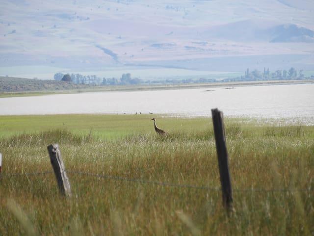 Sandhill Cranes nest on the farm
