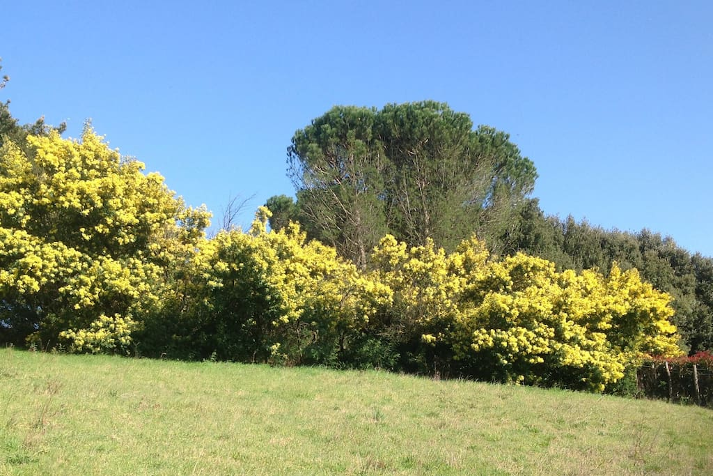 Grounds- Mimosa in spring