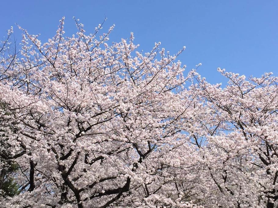 Cherry Blossoms are blooming soon..