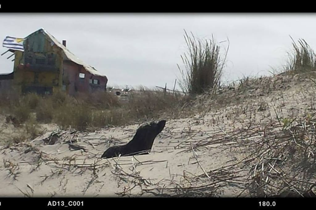 A very young sea lion visiting the beach...