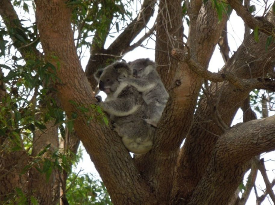Koalas are frequently seen close to the house as well as around the property.