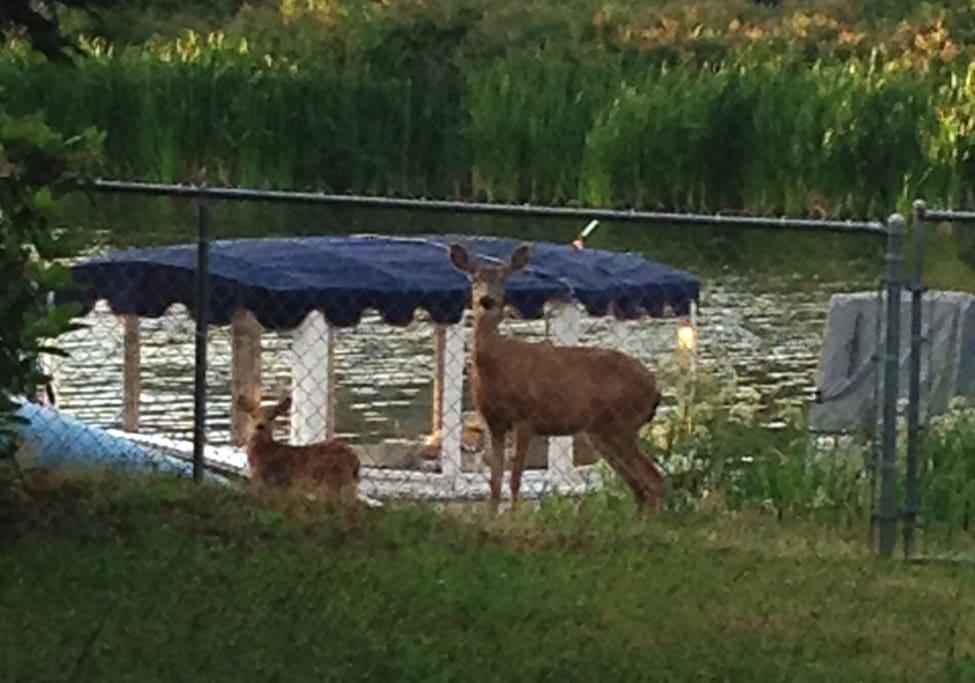 Deer like to visit