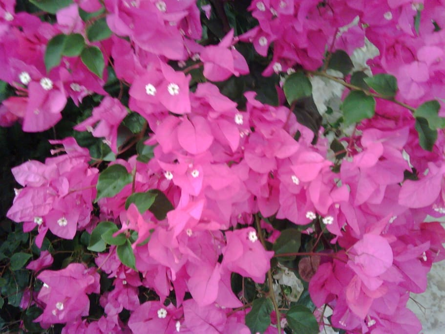 Bougainvilliae outside apartment