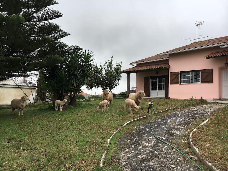 Sheeps in the garden