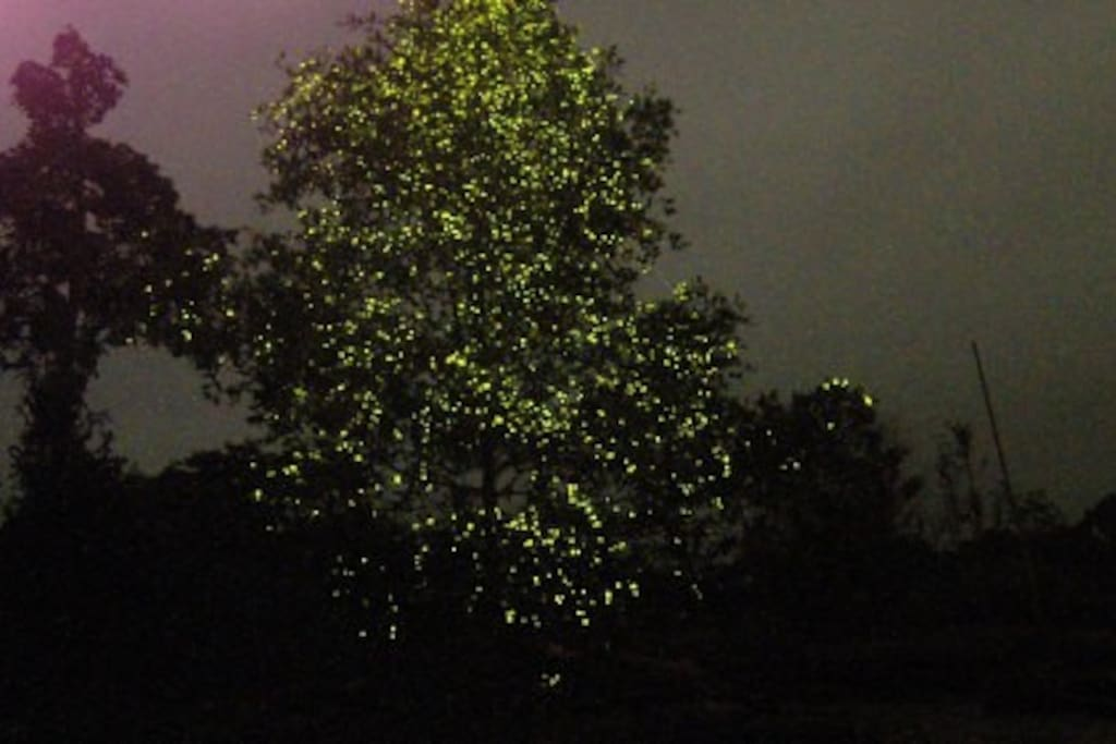 "Attraction - Firefly ""Christmas Tree"""