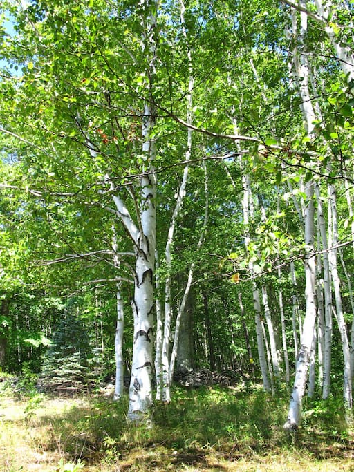 Beautiful grove of birch trees leads to the meadows
