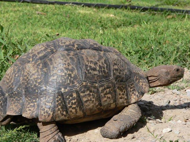 Visiting tortoise