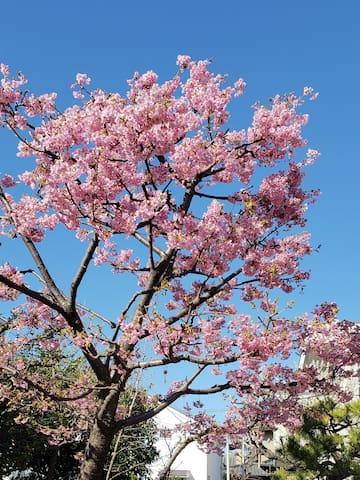河津桜(kawazu Cherry Blossoms) It will bloom for about one month from February 15 to March 15.