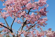 河津桜(kawazu Cherry Blossoms) It will bloom for about one month from February 15 to March 15.