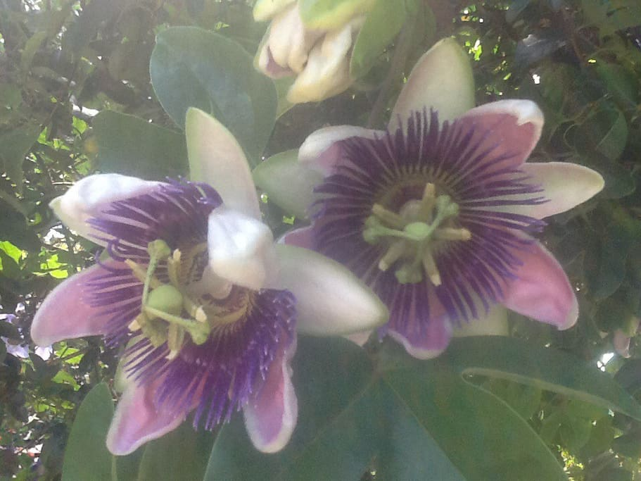 Passionflower, what else! These in entryway from calle