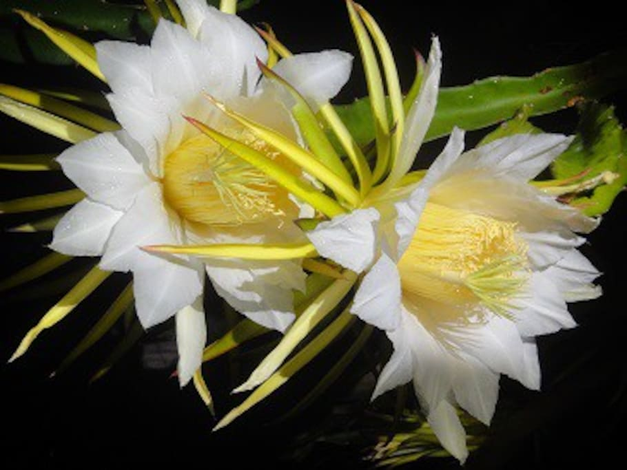 Dragon fruit flowers in our backgarden