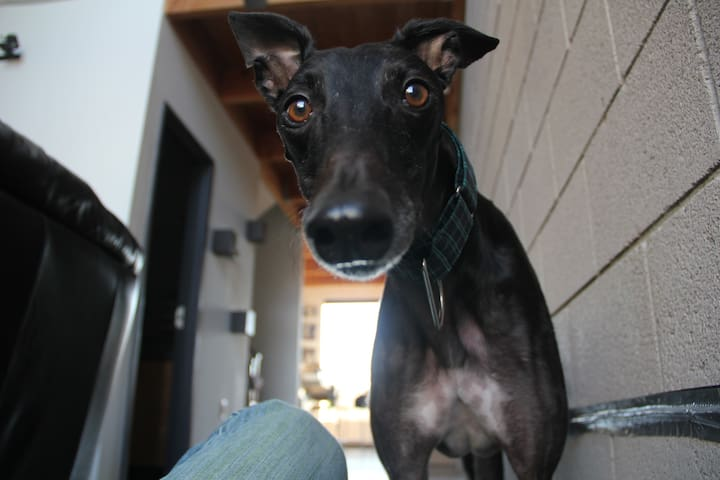 Bing the greyhound