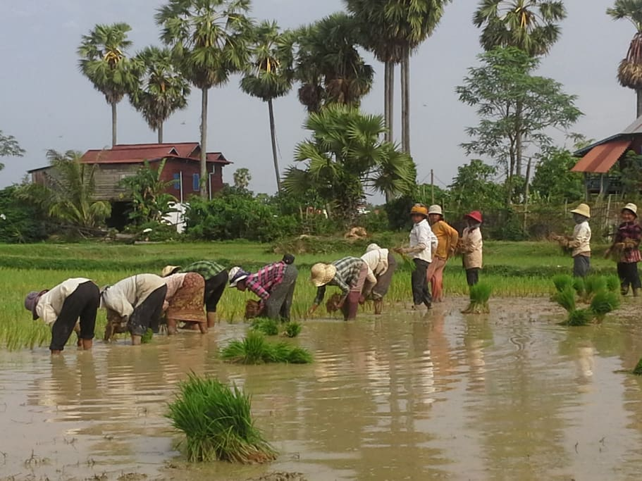 Help local people planting rice