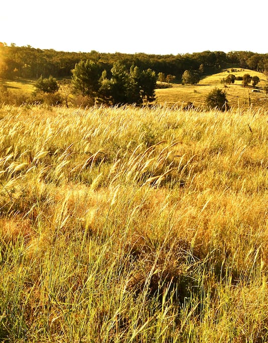 Native grasses for kangaroos at Springview Eco-Farm