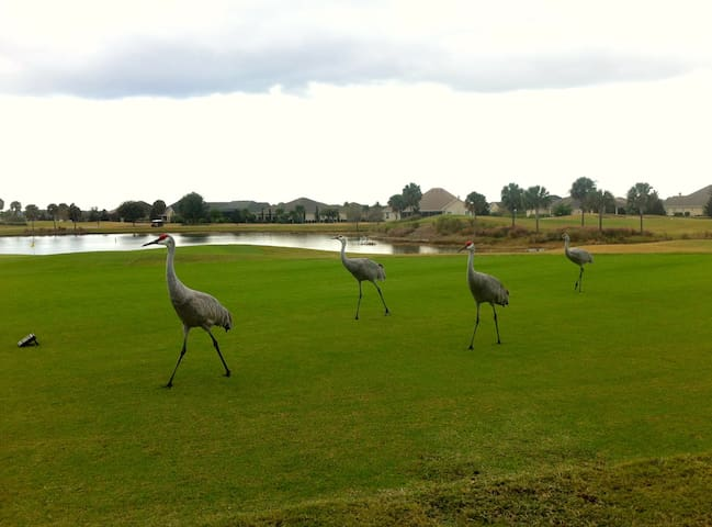 Sandhill Cranes at the local country club - Cane Garden - just a short bike ride or walk away.