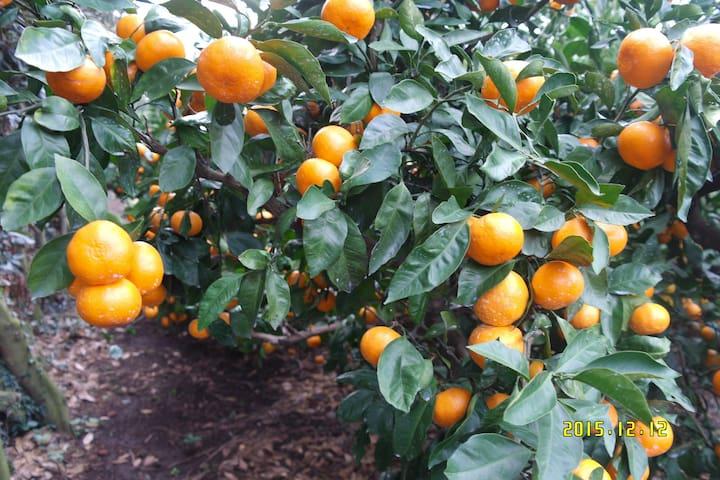 바언제주 감귤따기체험 패키지상품 pick tangerine