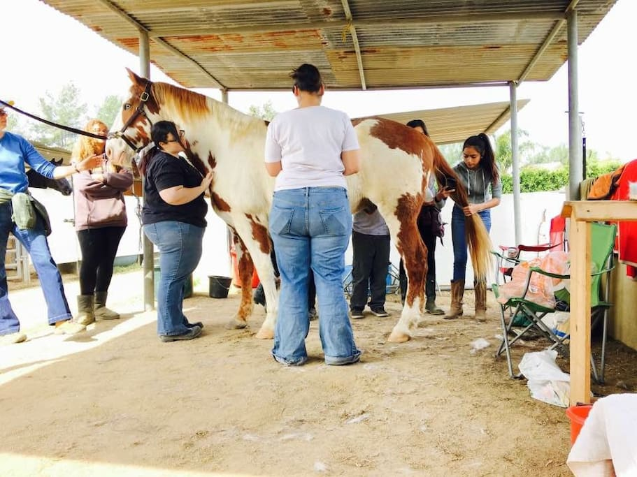 My Tennessee Walker  JB ThunderCloud being groomed by my volunteer Girl Scout troop at The Dark Horse Ranch
