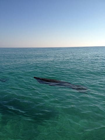 Guidebook for Destin *pic of manatee by our beach access