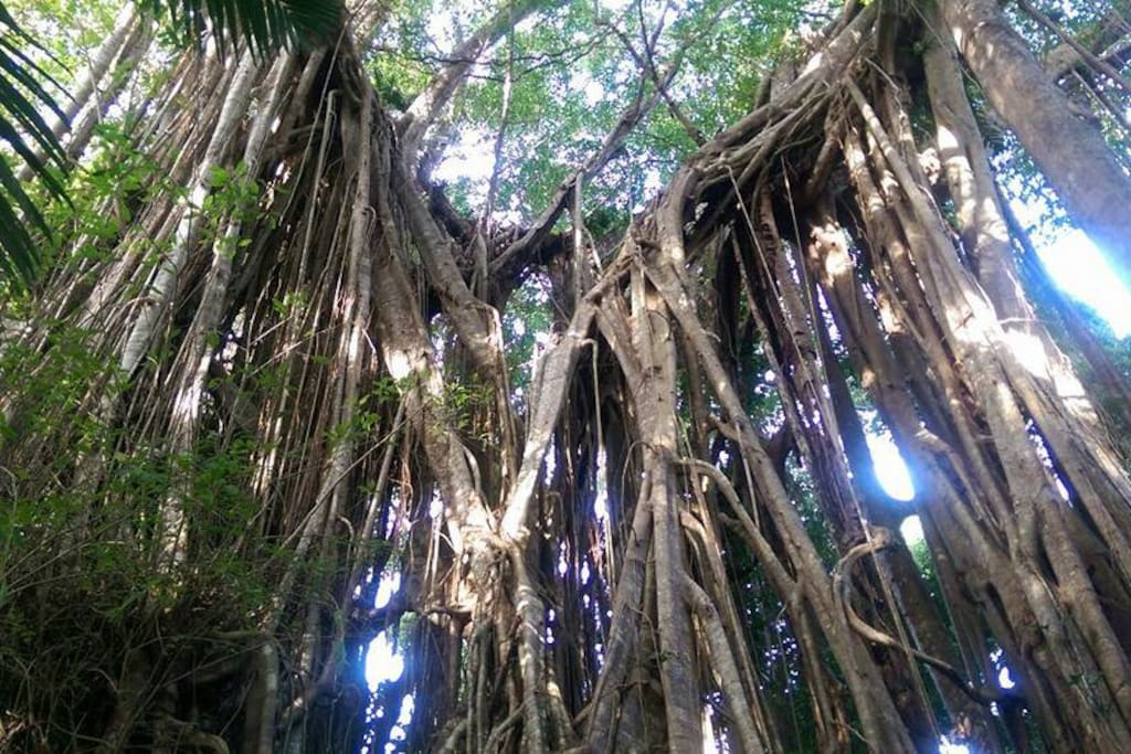Mother Tree... Just one of the beautiful trees in our rainforest.