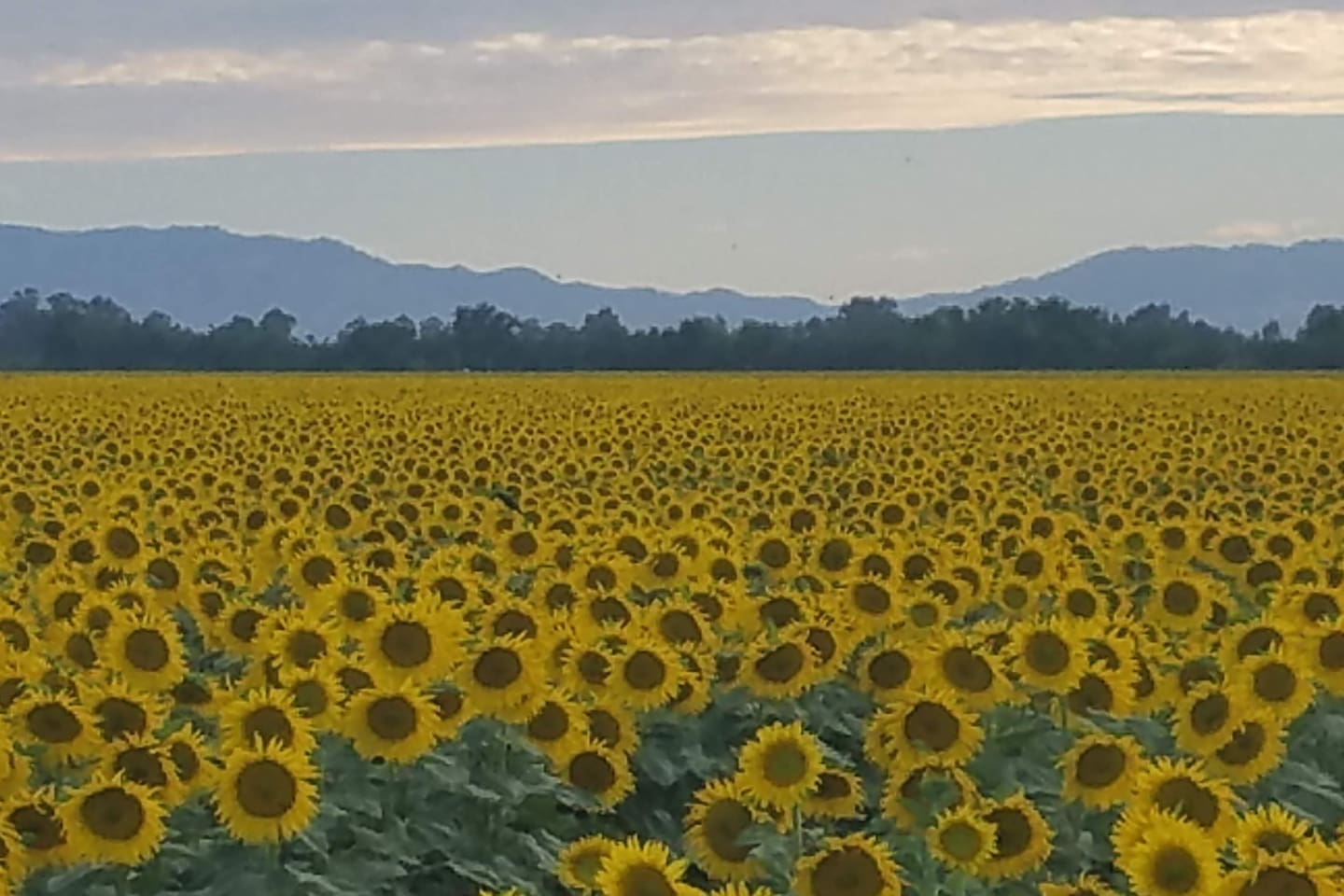 Beautiful sunset with Sunflowers in our neighborhood.
