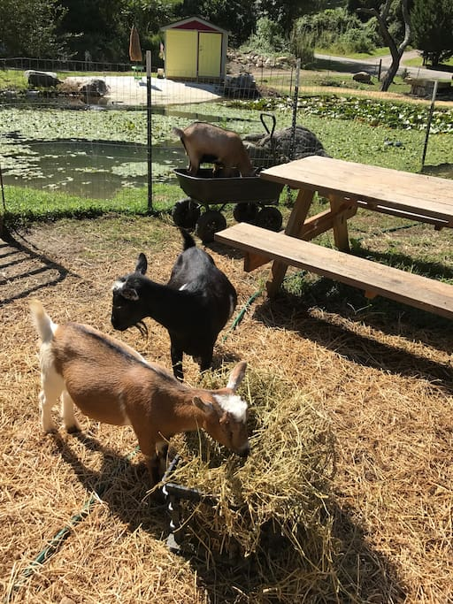 Mini Nigerian goats. Very friendly.