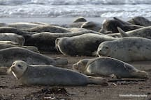 Harbor Seals lounging down at Taft Beach.