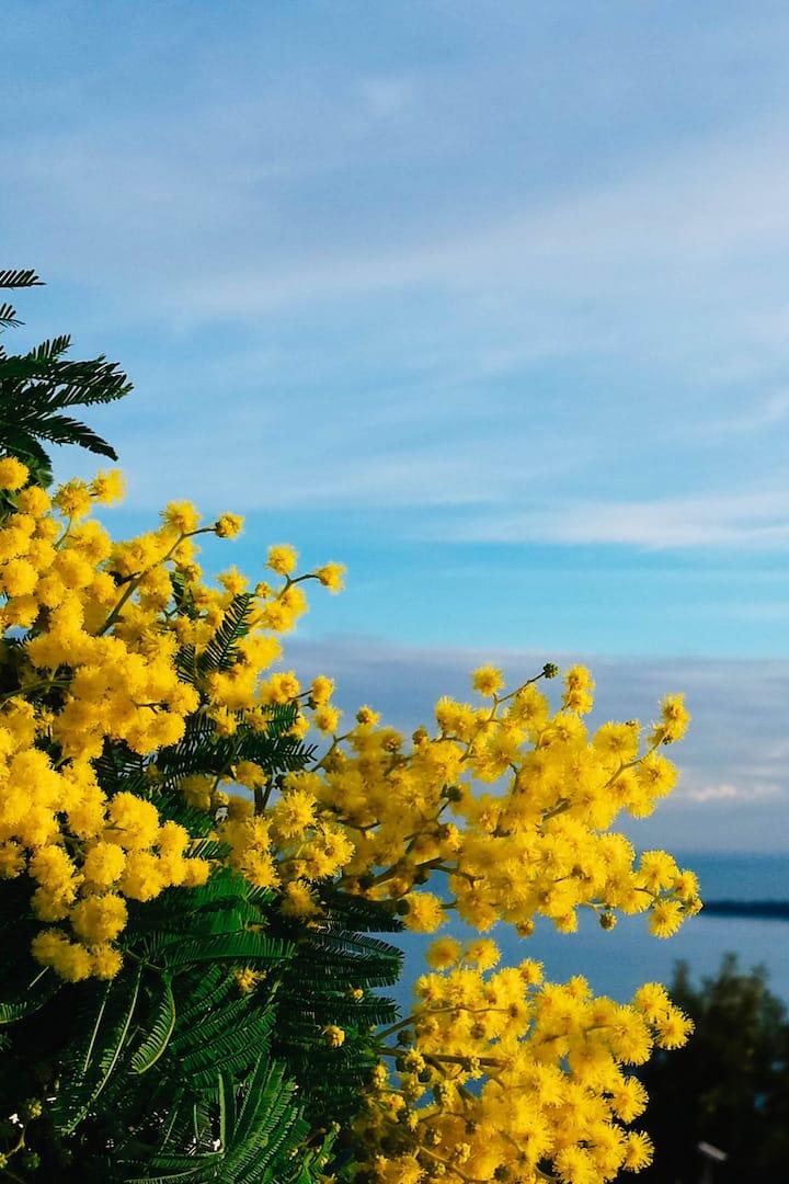 Mimosa sur fond bleu de ciel et de la me