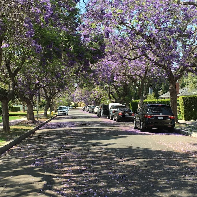 Beautiful Jacaranda trees line our street and bloom 2-3 times a year.